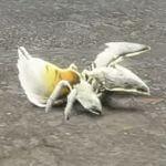 クグツチグモ